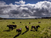 Clouds drift over a paddock with Icelandic horses in Wehrheim near Frankfurt, Germany, Monday, June 21, 2021. (AP Photo/Michael Probst)