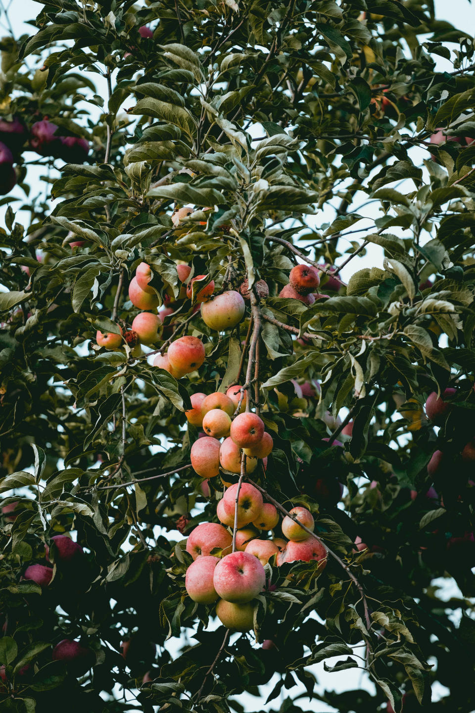 winter garden jobs: apple tree