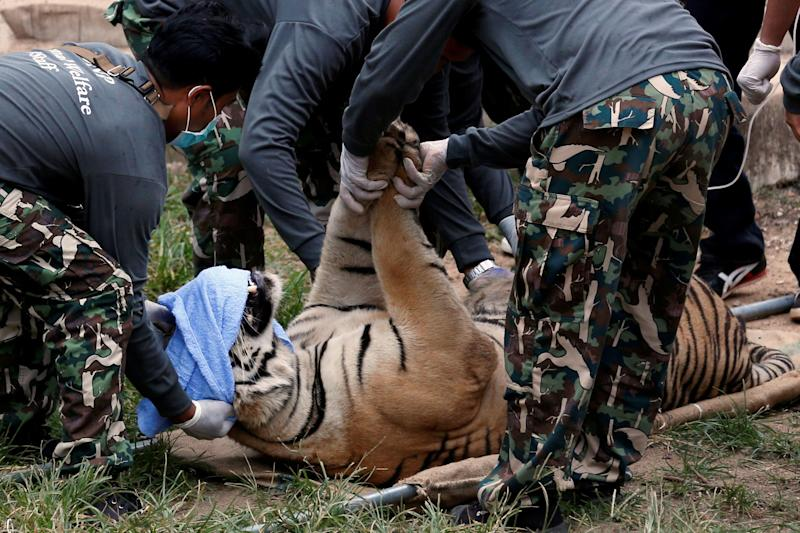 A sedated tiger is seen lying on a stretcher as officials start moving tigers from Thailand's controversial Tiger Temple in 2016. (Photo: Chaiwat Subprasom / Reuters)