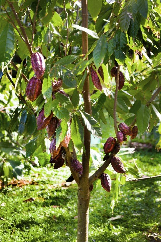 chocolate in the ivory coast The true price of cocoa from ivory coast - joint report by idh and true price | 4 introduction 5  chocolate and cocoa companies in the world.