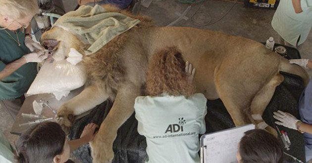 Many of the lions had to have surgery on their teeth. Source: Animal Defenders International