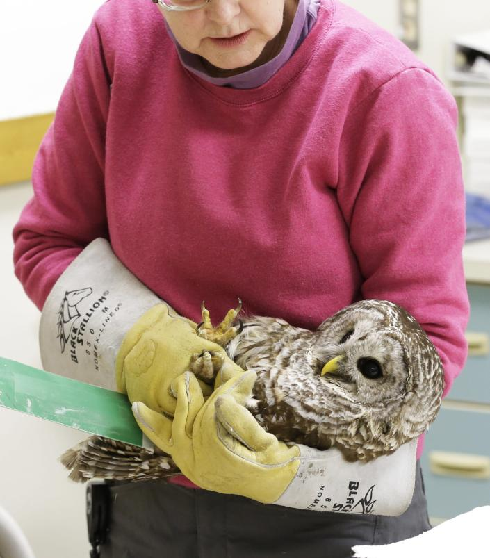 A barred owl is carried by a volunteer after it was examined by a veterinary technician at the Raptor Center on the St. Paul campus of the University of Minnesota, Wednesday, March 13, 2013. The center listed about 30 owls as patients this week. It has been a tough winter for owls in some parts of North America. Some have headed south in search of food instead of staying in their northern territories. (AP Photo/Jim Mone)