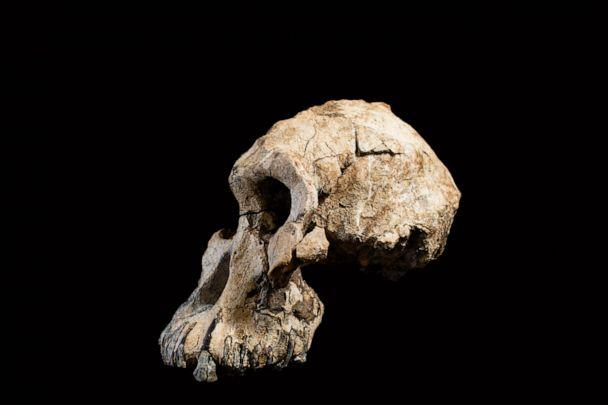 PHOTO: A group of researchers has discovered a 'remarkably complete' cranium of a 3.8-million-year-old early human ancestor in the Afar region of Ethiopia. (Dale Omori/Cleveland Museum of Natural History)