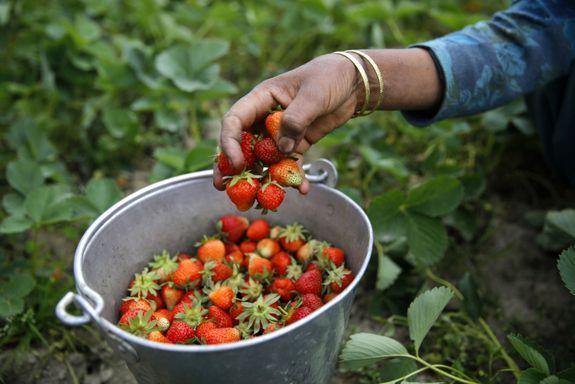 A woman harvests strawberries.
