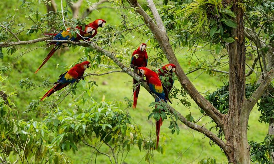 Scarlet macaws from Costa Rica.