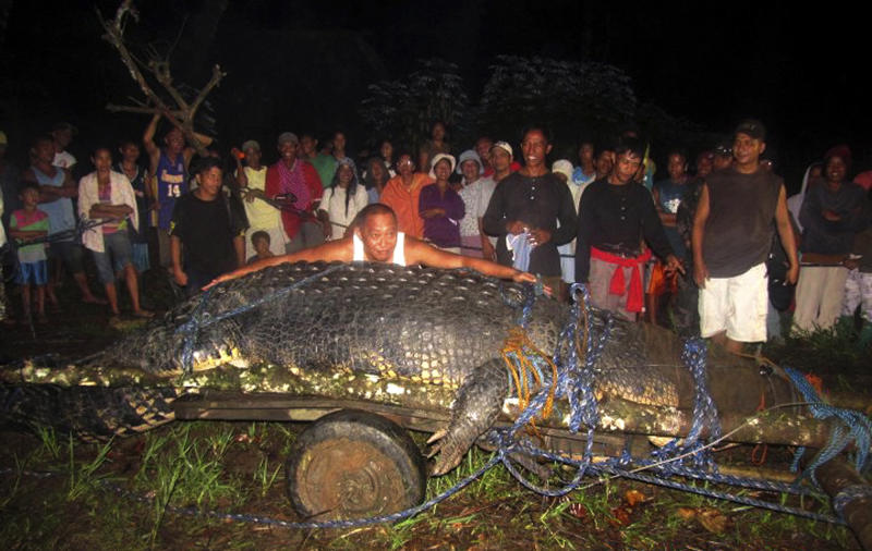 """FILE - In this Sunday, Sept. 4, 2011 file photo, Bunawan Mayor Edwin Cox Elorde pretends to measure a huge crocodile which was captured by residents and crocodile farm staff along a creek in Bunawan in Bunawan town in Agusan del Sur province, southern Philippines. Guinness World Records has declared Sunday, July 1, 2012 that the huge crocodile blamed for deadly attacks is the largest in captivity in the world. Guinness spokeswoman Anne-Lise Rouse says the saltwater crocodile nicknamed """"Lolong"""" measured 6.17 meters (20.24 feet) and weighed more than a ton. (AP Photo)"""