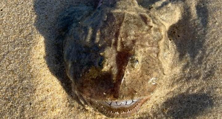 A stargazer washed up on a Queensland beach.