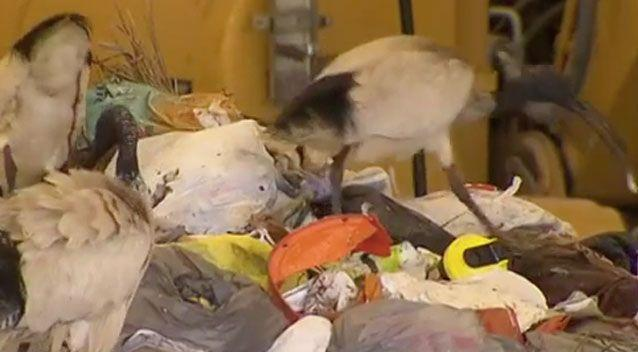 Residents in Perth have been warned to expect gunshots as an ibis cull rolls out. Photo: 7 News