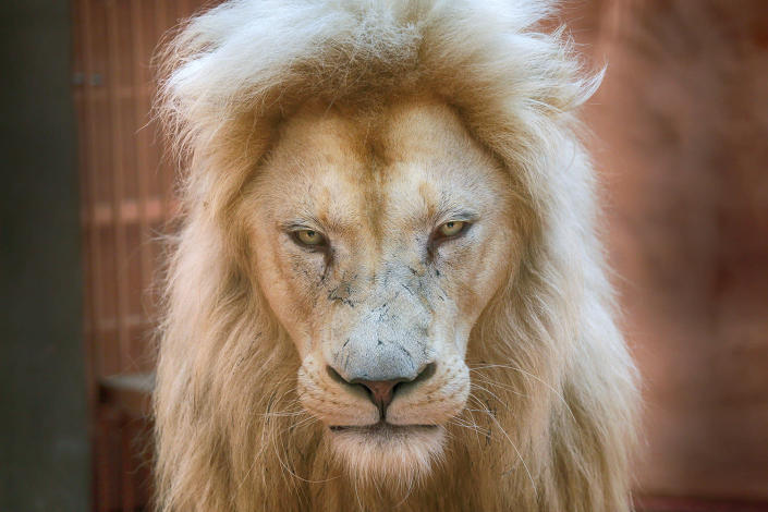 <p>Five-year old white lion Ludwig, father of five new-born white lion cubs, in a private zoo in the village of Demydiv 50 kilometres west of Kiev, Ukraine, Aug. 11, 2016. (AP Photo/Efrem Lukatsky) </p>
