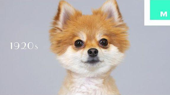 100 Years Of Pomeranian Beauty