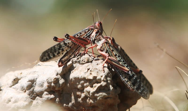 Desert locusts are seen in a grazing land on the outskirt of Dusamareb in Galmudug region