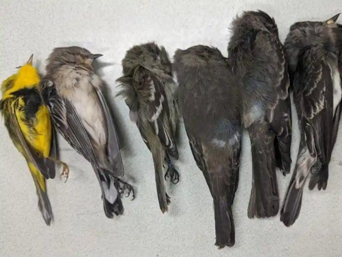New Mexico State University scientists are investigating mass bird deaths in the state (Allison Salas/New Mexico State University)