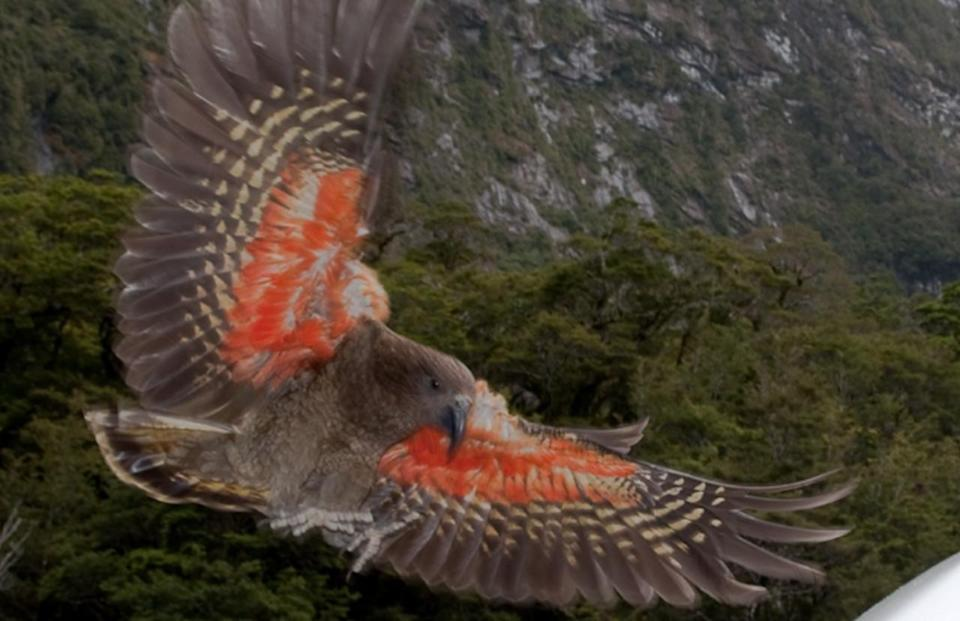 Social distancing parrot: Keas may have moved to mountains to avoid humans