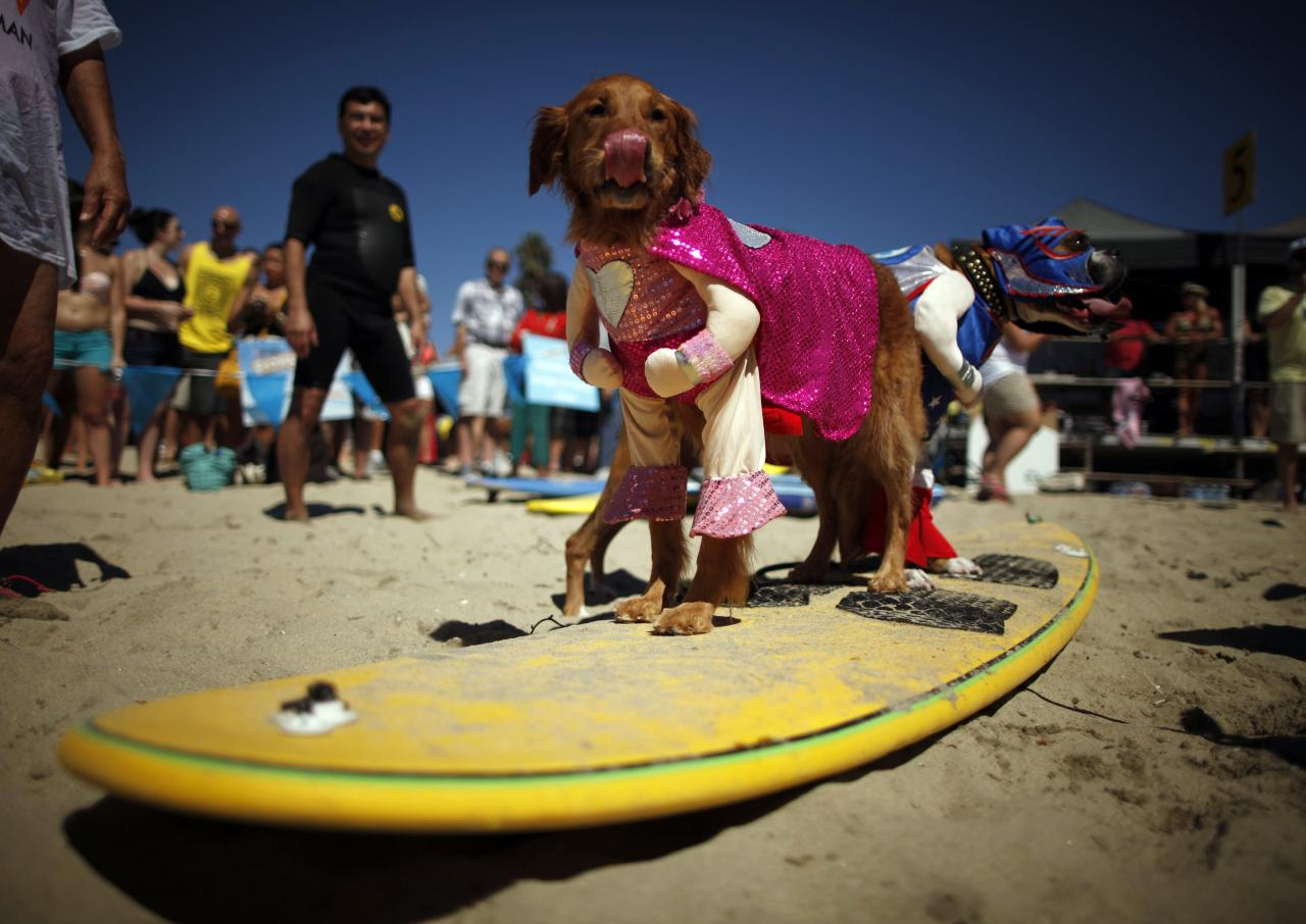 Dogs in costume wait to compete in the Surf City surf dog competition in Huntington Beach, California, September 29, 2013. REUTERS/Lucy Nicholson (UNITED STATES - Tags: SPORT ANIMALS SOCIETY)