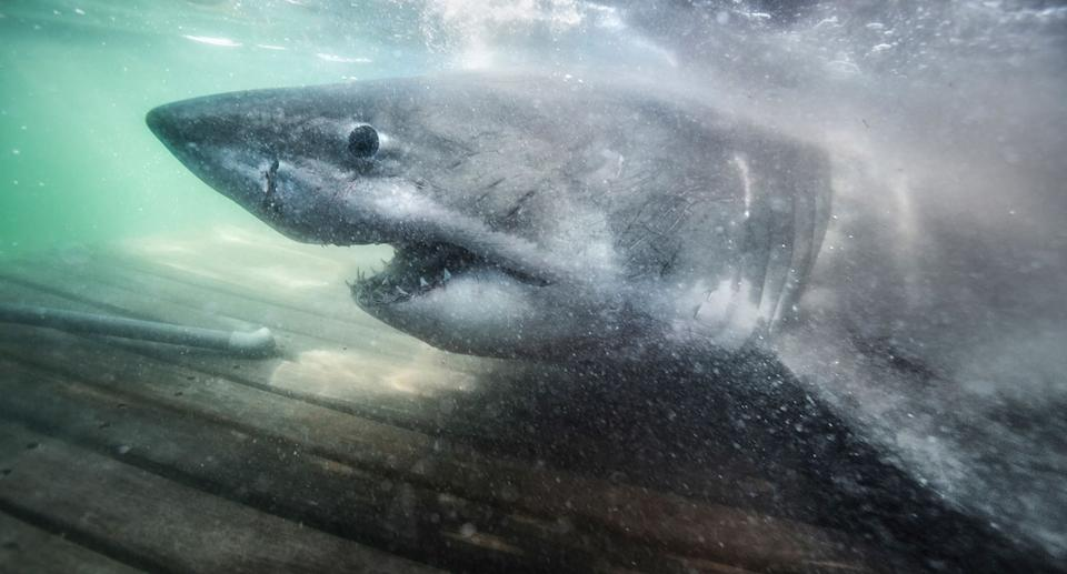 A stock image of a shark.