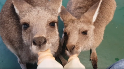 <p>A pair of orphaned kangaroos and a wallaby huddled together to feed from milk bottles at a Victorian wildlife shelter on March 8.</p><p>Our Haven Wildlife Shelter released the video of the Australian animals loudly and contentedly suckling from the bottles on Sunday. Credit: Our Haven Wildlife Shelter via Storyful</p>