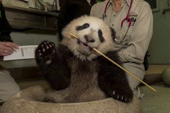 Xiao Liwu looks like he's waving while holding a piece of bamboo in his mouth.
