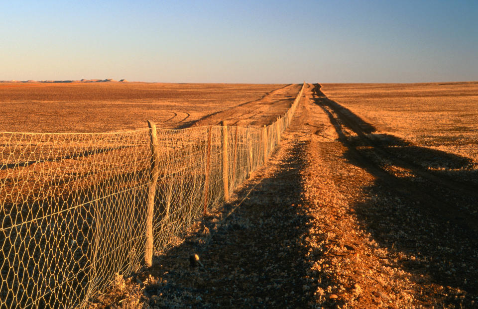 Dingoes on the south side of the Dog Fence are treated as wild dogs in South Australia. Source: Getty