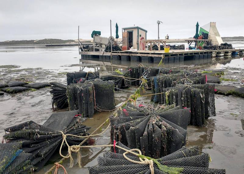 Culture bags are bundled up near the Grassy Bary Oyster Co. processing platform.