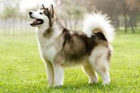 """<p>With its cold and frozen tundra, it's no wonder that their official state dog is the <a href=""""https://www.dailypaws.com/dogs-puppies/dog-breeds/alaskan-malamute"""" rel=""""nofollow noopener"""" target=""""_blank"""" data-ylk=""""slk:Alaskan Malamute"""" class=""""link rapid-noclick-resp"""">Alaskan Malamute</a>. Alaska designated this breed as their state dog in 2010 after a group of kindergartners were emboldened by their school to <a href=""""https://www.washingtonpost.com/wp-dyn/content/article/2010/08/30/AR2010083004506.html"""" rel=""""nofollow noopener"""" target=""""_blank"""" data-ylk=""""slk:successfully present the idea"""" class=""""link rapid-noclick-resp"""">successfully present the idea</a> to state legislature. Malamutes are hardworking freighters of the Arctic and covered with a double-coat of fur that's able to withstand the rain, sleet, snow, and ice.</p>"""