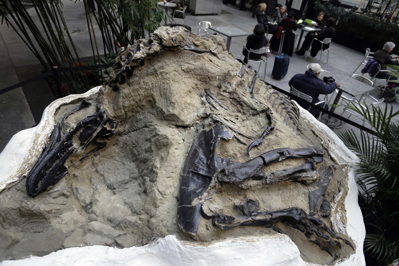 "FILE - In this Nov.14, 2013, file photo, one of two ""dueling dinosaurs"" fossils is displayed in New York. In an ongoing court case over the ownership of the fossils, the Montana Supreme Court heard arguments in Helena, Mont., Thursday, Nov. 7, 2019, over whether fossils are part of a property's surface estate or mineral estate in the case of split ownership. (AP Photo/Seth Weinig, File)"