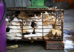 Wholesalers keep the cats crammed into small cages for several days until they have collected enough animals to cover the costs of transport. Cats are transported over hundreds of miles without water, food, and sufficient ventilation to the slaughterhouses scattered throughout Vietnam.