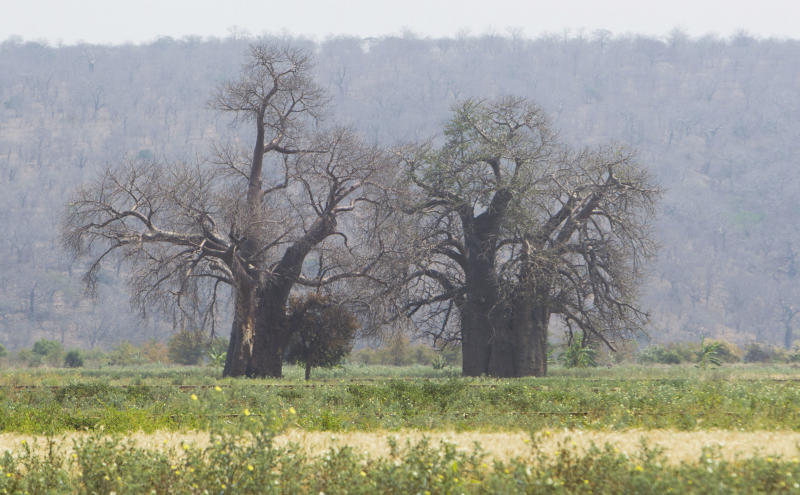 "In this photo taken Wednesday, Sept. 20, 2017, two baobab trees grow alongside one another in a field in Chimanimani, Zimbabwe. Africa's ancient baobab, with it's distinctive swollen trunk and known as the ""tree of life,"" is under a new mysterious threat, with some of the largest and oldest dying abruptly in recent years. (AP Photo/Tsvangirayi Mukwazhi)"