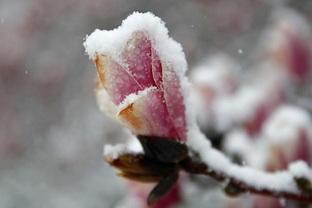 <p>Snow coats a magnolia blossom near the tidal basin, Wednesday, March 21, 2018, in Washington, during a snow storm on the second day of spring. (Photo: Jacquelyn Martin/AP) </p>