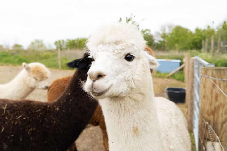 Samantha loves to lay in the hay with her six alpacas (PA Real Life/Virgin Experience Days).