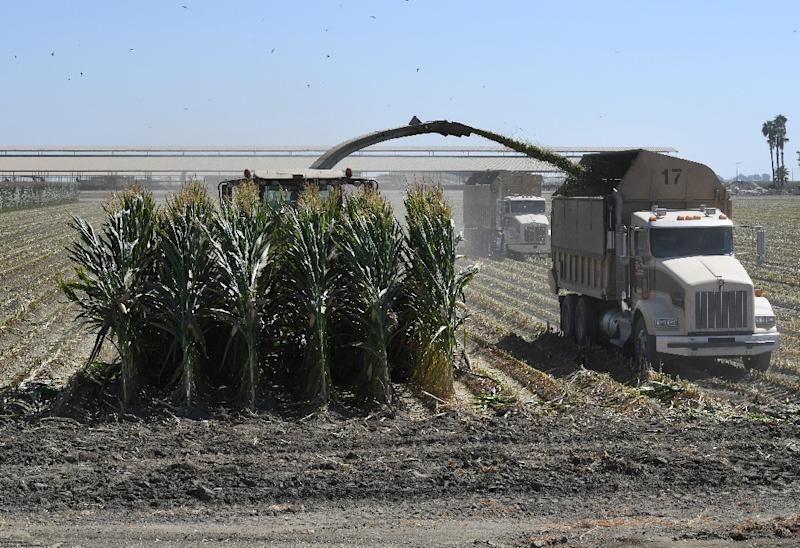 US farmers reacted with cautious optimism to the US-China trade detente. Here farm workers in September 2018 harvest a corn crop in the central valley town of Tulare, California (AFP Photo/Mark RALSTON)