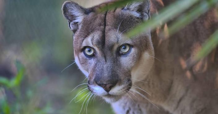 The Florida panther is among protected species that live in Big Cypress.