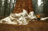 Flames got close to the General Sherman, the world's biggest tree, but were pushed back thanks to years of controlled burns that starved the fire of fuel (AFP/Gary Kazanjian)
