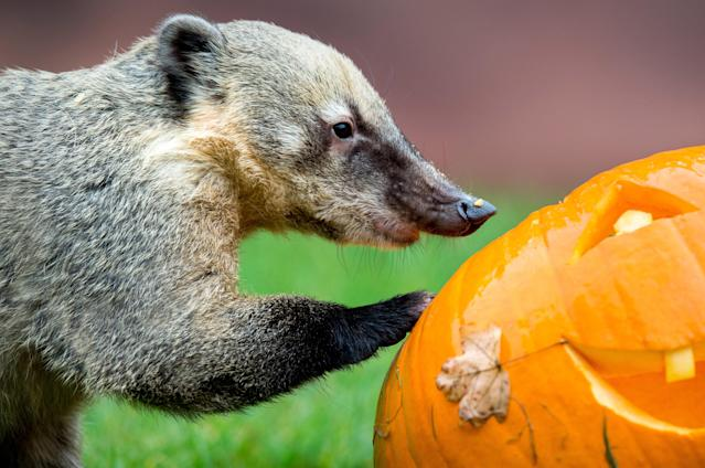 <p>A coati eats a pumpkin in the zoo in Hanover, Germany, Oct. 26 2017. (Photo: Hauke-Christian Dittrich/DPA via ZUMA Press) </p>