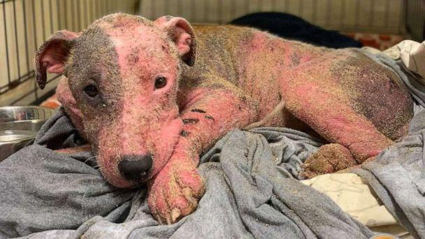 PHOTO: The animal rescue group PAWS of Hawaii released this image of a dog that they say was found after it was cut with a blade and then buried alive on a beach in Hawaii, July 9, 2019. (PAWS of Hawaii via Storyful)