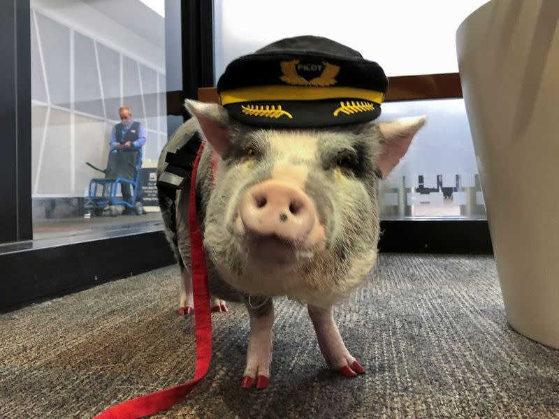 LiLou the therapy pig stands in the departure area at San Francisco International Airport in San Francisco, California