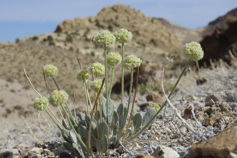 This photo provided by Patrick Donnelly and the Center for Biological Diversity, shows Tiehm's buckwheat, a rare wildflower, in the Nevada desert on May 29, 2021. The U.S. Fish and Wildlife Service said Thursday, June 3, 2021, an extremely rare wildflower that grows only in Nevada's high desert where an Australian mining company wants to dig for lithium should be protected under the Endangered Species Act. The agency outlined its intention to propose listing Tiehm's buckwheat as a threatened or endangered species in a court-ordered, finding of its overdue review of a listing petition conservationists filed in 2019. (Patrick Donnelly/Center for Biological Diversity via AP)