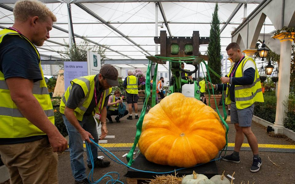 A giant pumpkin weighing over 800lbs is moved into position - Jamie Lorriman