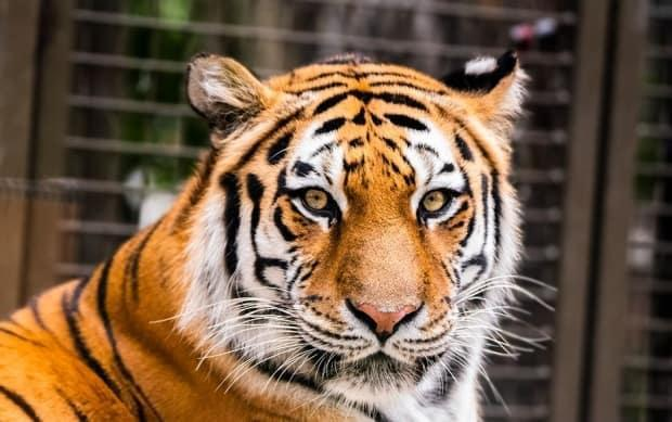 The Calgary Zoo's nine-year-old Amur tiger, Sarma, underwent assisted reproductive therapy last week. (Calgary Zoo - image credit)