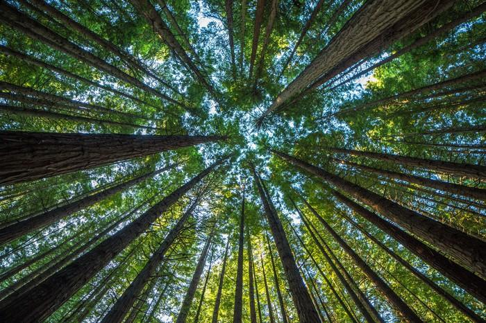 A view from below of towering redwood trees.