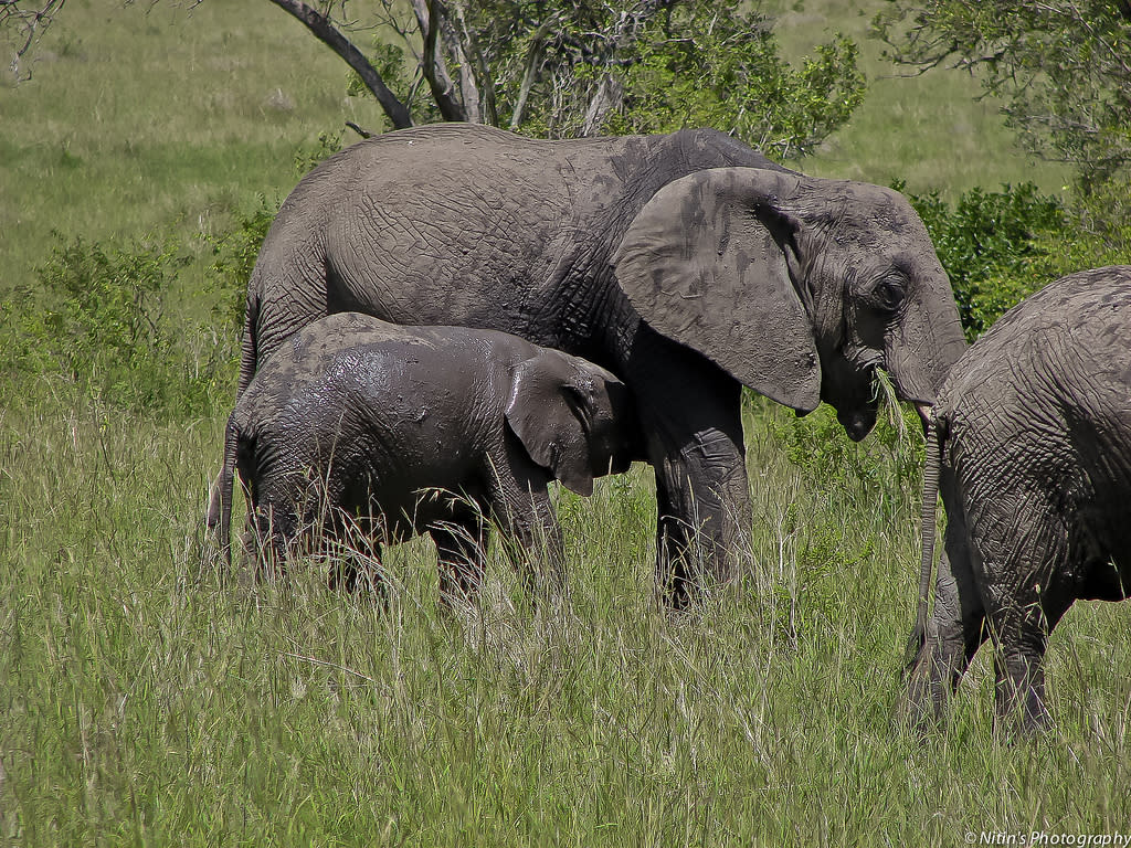 A cow elephant suckles its calf in Maasai Mara. Female African Elephants, unlike Asian Elephants, bear tusks, though they are shorter and smaller than those of the bulls.