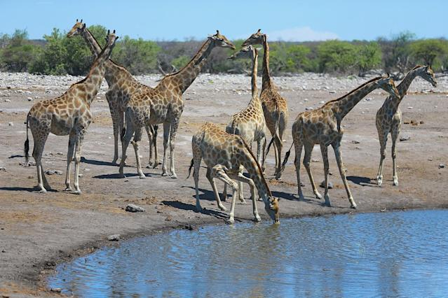 <p>A herd of giraffes keep a careful eye out for predators while drinking from the Chudop watering hole in Etosha National Park. The Chudop hole, near the Namutoni camp, is always active with animals. (Photo: Gordon Donovan/Yahoo News) </p>