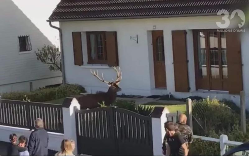 The film on October 21 shows the stag in the front garden in the village of Lacroix-Saint-Ouen - AVA Picardie/30 Millions d'Amis