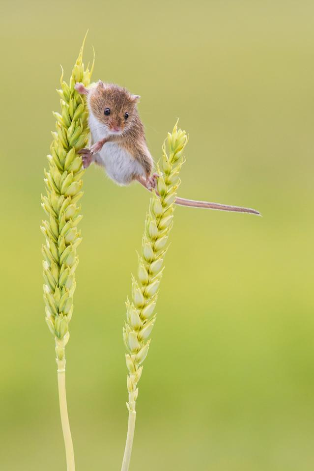 Close-up of Harvest Mouse