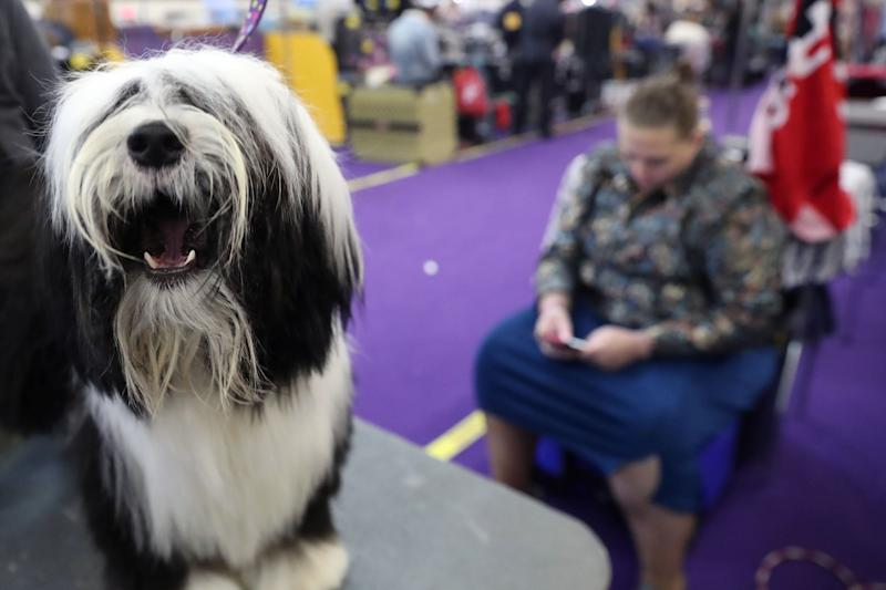 Questa, a Tibetan terrier breed, sits during the 143rd Westminster Kennel Club Dog Show in New York, Feb. 11, 2019. (Photo: Shannon Stapleton/Reuters)