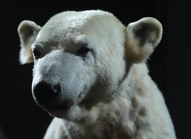 BERLIN, GERMANY - FEBRUARY 16: A model of Knut the polar bear, that features Knut's original fur, stands on display to the public on its first day at the Natural History Museum on February 16, 2013 in Berlin, Germany. Though Knut, the world-famous polar bear from the Berlin zoo abandoned by his mother and ultimately immortalized as a cartoon film character, stuffed toys, and more temporarily as a gummy bear, died two years ago, he will live on additionally as a partially-taxidermied specimen in the museum. Until March 15, the dermoplastic model of the bear will be on display before it joins the museum's archive, though visitors can see it once again as part of a permanent exhibition that begins in 2014. (Photo by Sean Gallup/Getty Images)