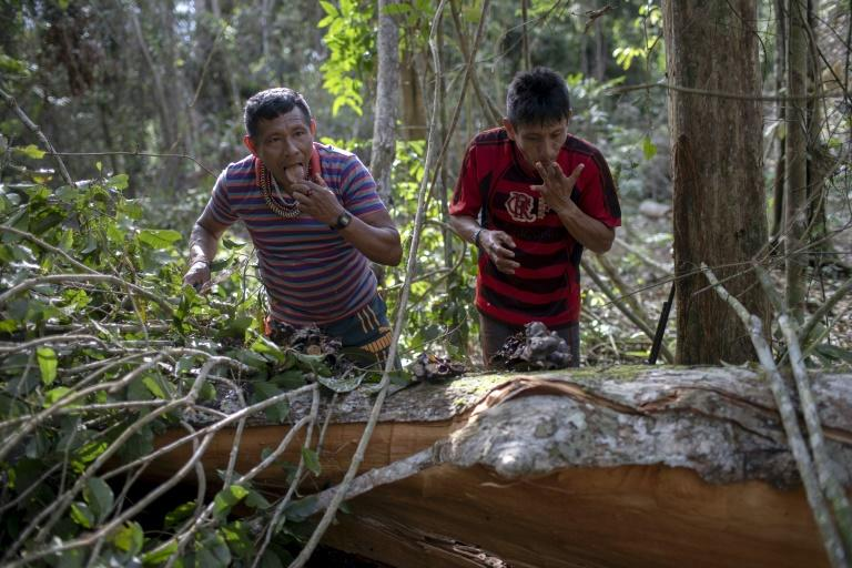 Arara indigenous chief Tatji Arara (R), and another tribe member eat honey found in a tree, which was ilegally cut down, as they patrol their ancestral lands
