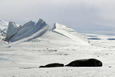 Seals lie on a frozen section of the Ross Sea at the Scott Base in Antarctica on November 12, 2016.  REUTERS/Mark Ralston