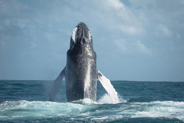Enormous whale emerges from water like a missile