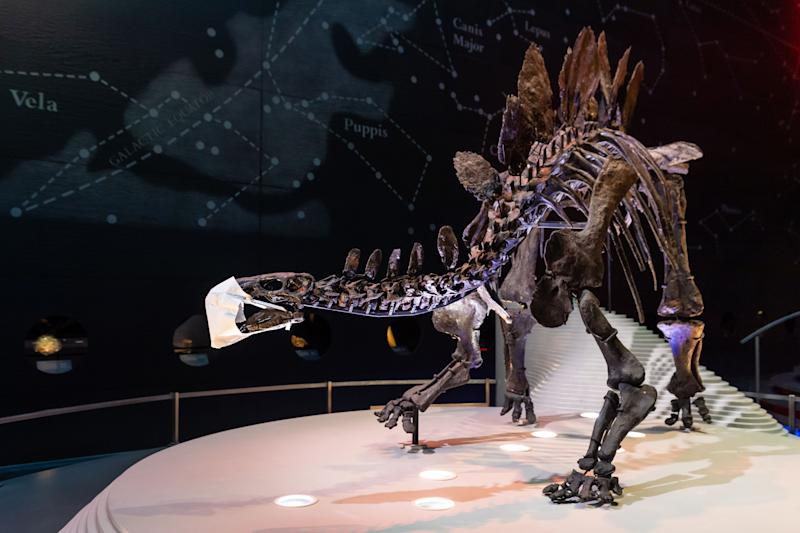 LONDON, ENGLAND - AUGUST 05: A fossilised skeleton of a Stegosaurus Dinosaur is pictured wearing a face mask before the reopening of the Natural History Museum on August 5, 2020 in London, England. The museum closed for 5 months due to COVID-19. (Photo by Ian Gavan/Getty Images)