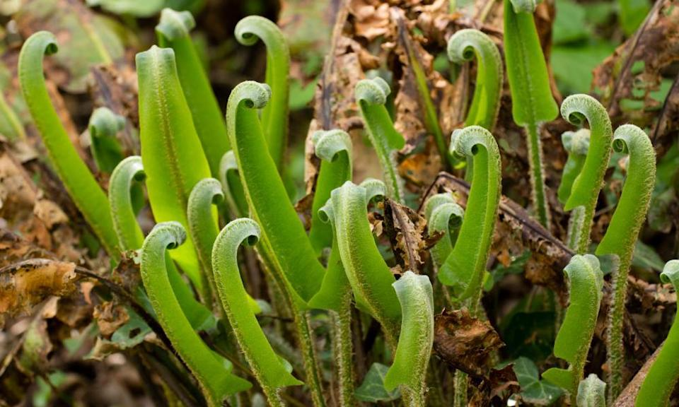 Hart's tongue fern will grow up to 90cm.